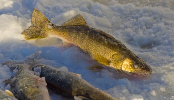 Catching Your Limit of Walleye