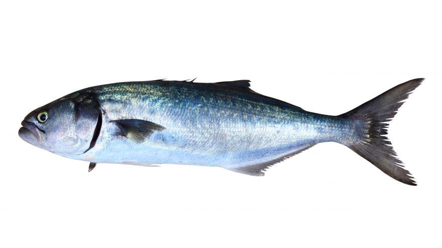 Fishing for Northeast Bluefish