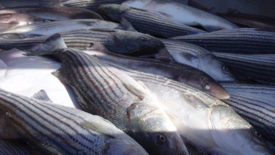 Tips for Catching Atlantic Striped Bass