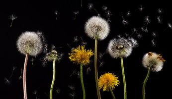 Our Wild Food Profile of the Dandelion