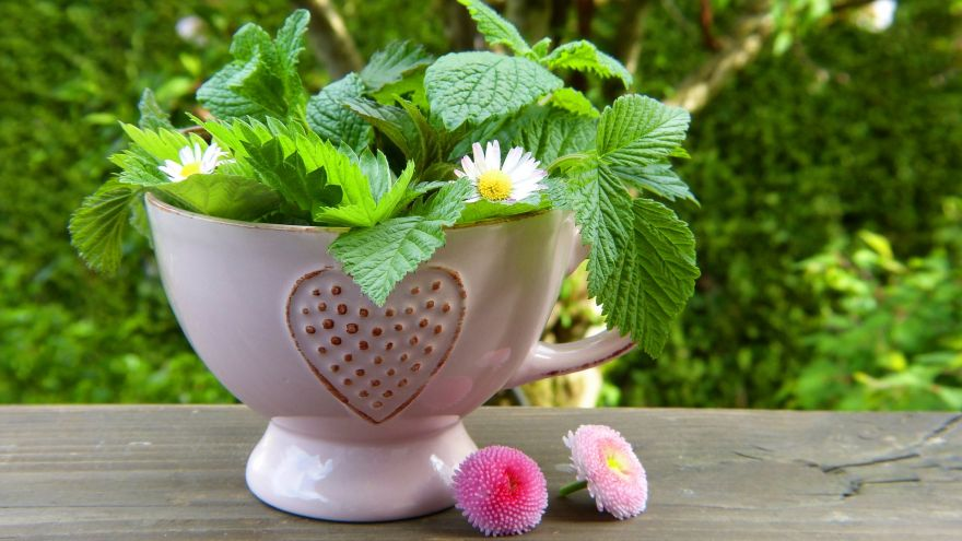 10 Spring Herbal Tea Plants of the Pacific Northwest GearWeAre