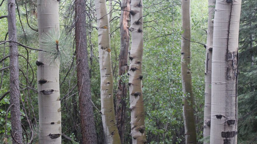Our Identification & Profile Of The Paper Birch Tree